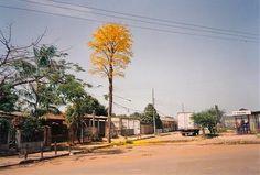 Há alguns anos fala-se sobre a incrível história do Ipê Amarelo que era um poste e virou árvore. O Ipê teria florescido novamente, mesmo depois de ter sido serrado e transformado em poste de luz.Parece história inventada né? Mas acredite, não é.É real e aconteceu em Porto Velho, Rondônia. Algumas décadas atrás, a companhia de energia elétrica da cidade ainda usava postes feitos de madeiras nativas da região.Este famoso poste veio de um Ipê Amarelo (abundante na região) e, depois de…