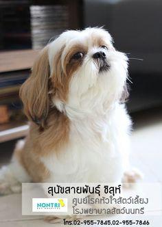 ความรู้เกี่ยวกับ สุนัขสายพันธุ์ชิสุ สำหรับผู้เลี้ยงค่ะ  ชิสุเป็นสุนัขขนาดเล็กในกลุ่มทอย (Toy Group) มีน้ำหนักตัว 4.5 - 7.5 kg. ส่วนสูง 25 - 27 Cm. โดยประมาณค่ะ ตามขนาดตัวของเจ้าชิสุนั้น ผู้เลี้ยงจึงสามารถพาเจ้าชิสุตัวน้อยไปไหนมาไหนได้สะดวก ถ้าหากเราจะสื่อถึงสุนัขสายพันธุ์นี้ ภาพลักษณ์ของพวกเขา ก็จะเป็นน้องหมาขนยาวสลวย ตากลมโต ชอบทำจุกติดโบว์บริเวณหน้าผาก จึงทำให้เจ้าชิสุตัวน้อยดูสง่า อีกทั้งยังมีนิสัยขี้ประจบ ขี้อ้อน รักความสะอาด…