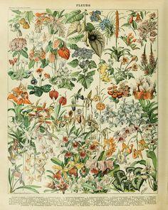 Vintage Flower Poster - Botanical Print - French Flower Decor - Wall Art Home Decor Fine Art Print #vi237