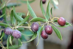 Olive sull'albero - Sardegna
