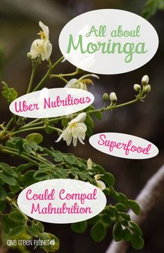 Moringa; superfood