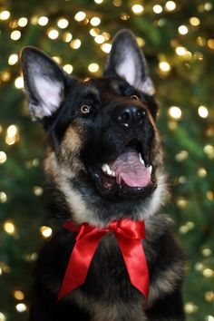 ill take another for Christmas Plz! Black German Shepherd Dog, German Shepherd Puppies, German Shepherds, Christmas Animals, Christmas Cats, Christmas Time, Baby Puppies, Dogs And Puppies, I Love Dogs