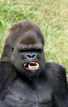 (imagine facing this fella in the wild, dang! Los Primates, Animals And Pets, Cute Animals, Silverback Gorilla, Mountain Gorilla, Wild Creatures, Baboon, Mundo Animal, African Animals
