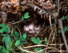 Kirtland's warbler nest with eggs