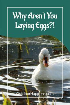 Raising Farm Animals, Raising Ducks, Raising Chickens, Backyard Ducks, Backyard Farming, Chickens Backyard, Khaki Campbell Ducks, Duck Breeds, Runner Ducks