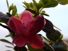 В день влюблённых расцвёл рододендрон