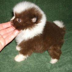 Chocolate and white Pomeranian Pinned by pinner