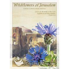 http://www.holylandblossoms.com/the_syrian_corn#.UWsslrVJOAg #SyrianCornflower #Thistle #WildflowersofJerusalem #HolylandBlossoms