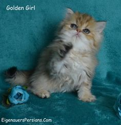 [Baby Persians][Tea Cup Persian Kittens For Sale][Persian Kittens For Sale][Silver Persians][Golden Persians][Wisconsin Persian Kittens For Sale][Persians For Sale][Shaded Silver Persian Kittens For Sale][Golden Persian Kittens For Sale][Golden Persians For Sale][Wisconsin Persian Breeder][Milwaukee Persian Breeder][Persian Kittens For Sale][Persians For Sale][Shaded Silver Persian Kittens For Sale[ Doll face Persians Kittens For Sale] [Dollface Persians]