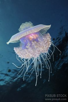really cool sea creatures - crown jellyfish Life Under The Sea, Under The Ocean, Sea And Ocean, Beautiful Sea Creatures, Deep Sea Creatures, Underwater Creatures, Underwater Life, Beneath The Sea, Sea World
