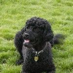 Portuguese Water Dog – Working Group DoggieDiscussions | Photo Gallery | http://www.doggiediscussions.com