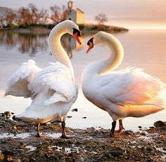 Beautiful swans there necks are in the shape of a heart so cute