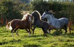 welsh mountain ponies