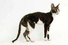 White Cat Breeds, Best Cat Breeds, Domestic Cat Breeds, White And Black Cat, Cornish Rex, Siberian Cat, Buy A Cat, Cat Life, Cool Cats