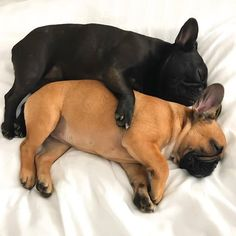 French Bulldog Puppies Snuggling