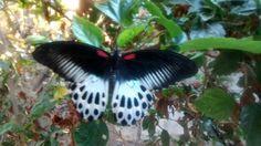 """Dragon"" Butterfly."