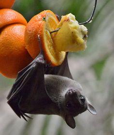 Bat enjoying breakfast!