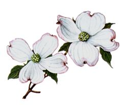 17 Super ideas for dogwood tree tattoo legends Pink Dogwood, Dogwood Trees, Dogwood Flowers, Flower Clipart, Art Clipart, Flower Art Drawing, Flower Drawings, Drawing Art, Dogwood Flower Tattoos