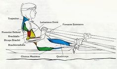 Looking for which rowing muscles get targeted? I go over all muscles used in a rowing stroke. Plus, photos of rowing machine muscles used during each stage! Canoa Kayak, Rowing Workout, Cardio, Indoor Rowing, Rowing Crew, Row Row Your Boat, The Sporting Life, Rowing Machines, Muscle Fitness