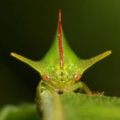 Treehopper, Alchisme grossa