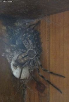 Huntsman spider with babies.  D'awww....cute!