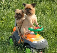 but the GPS says we're here, already! Brussels Griffon Puppies, Griffon Dog, Cute Puppies, Cute Dogs, Dogs And Puppies, Animals And Pets, Funny Animals, Cute Animals, I Love Dogs