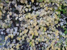 Hydrangea Petiolaris, 2013, Lab, Fruit, Gardens, Blonde Color, Climbing Hydrangea, Plant, Fall Season