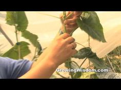 How to Prune Your Cucumber Plant - Get controlled cucumber plants that also produce many healthy cucumbers.  She explains it so well! My cukes would be so much easier to see and pick this way.