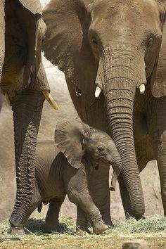 African Elephants and Baby ~ #elephants #animals #wildlife