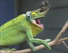 Jackson's Chameleon with Baby at Taronga Zoo Photo: Rick Stevens/SMH