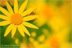 Macro flowers - Common Ragwort (Senecio jacobaea)