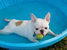 French Bulldog, wading pool in the Summer Heat.