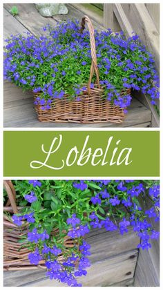 Blue Lobelia is a wonderful annual to add to your garden this year. It comes in VIBRANT shades with loads of blooms and grows in full sun to part shade. Blue Lobelia is a wonderful a Outdoor Plants, Outdoor Gardens, Potted Plants, Full Sun Flowers, Part Shade Flowers, Flowers That Like Shade, Purple Flowers, Silk Flowers, Orquideas Cymbidium