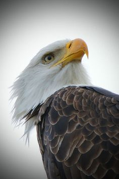 Very cool eagle portrait by Adrienne May 白頭鷲