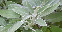 Salbei: gegen graue Haare, für gesunde Zähne und viel mehr You must have known for a long time that sage is healthy. Did you also know that it helps with gray hair and cleans teeth? Salvia Officinalis, Herbal Plants, Medicinal Plants, Herbal Tea, Healthy Teeth, Healthy Life, Plants That Repel Bugs, Natural Mosquito Repellant, Herbs
