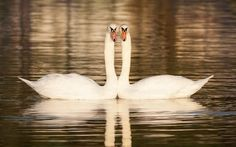 A pair of courting mute swans perform a synchronised 'dance' on Southsea Canoe Lake