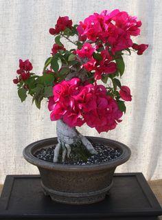 Bougainvillea bonsai... wow