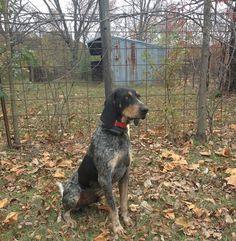 Bluetick Coonhound 04
