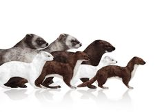 How to Draw Animals: Weasels, Stoats, Minks, Polecats and Ferrets  — Tuts
