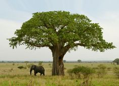 Baobab Health Benefits - BetterNutrition.com - Better Nutrition Magazine - Supplements, Herbs, Holistic Nutrition, Natural Beauty Products