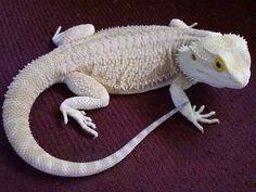 Zero Bearded Dragon, pale white lizard