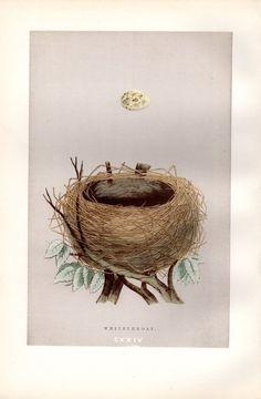 1892 Antique Nest & Egg Print Morris by AntiquePrintGallery