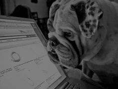 Funny picture / image - bulldog watching computer screen, by Bulldog Pics, Bulldog Puppies, Dogs And Puppies, Doggies, Chihuahua Dogs, British Bulldog, Old English Bulldog, French Bulldog, Dog Love