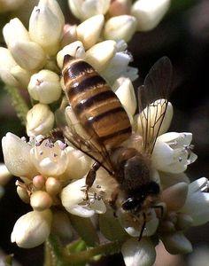 Insect/honeybee