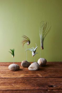 10 DIY Air Plant Holders For Your Home Tillandsia or commonly known as air plants are a type of plants that get their nutrients from the air. Air Plant Display, Plant Decor, Plant Wall, Ikebana, Air Plants, Indoor Plants, Indoor Cactus, Green Plants, Decoration Plante