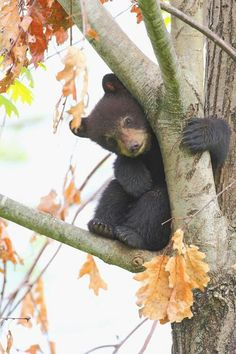 black bear cub, such cute, curious creatures Cute Baby Animals, Animals And Pets, Funny Animals, Baby Pandas, Wild Animals, Beautiful Creatures, Animals Beautiful, Black Bear Cub, Bear Cubs