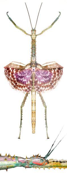 Achrioptera spinosissima