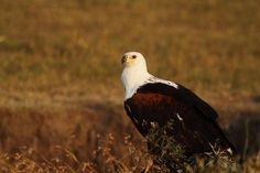 African Fish Eagle (Haliaeetus vocifer)..