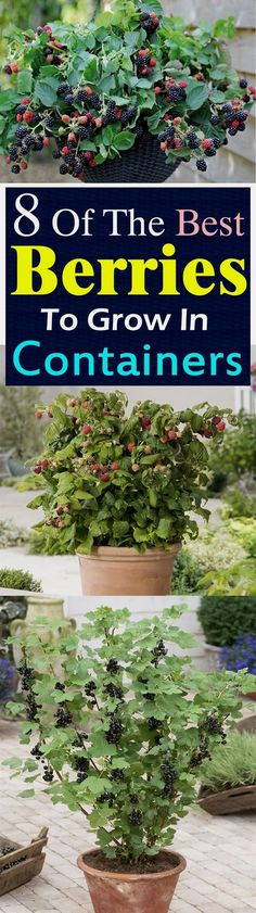 Gardening Want to grow berries? But what to do if you don't have space to plant them? Growing berries in containers is the answer! - Want to grow berries? But what to do if you don't have space to plant them? Growing berries in containers is the answer! Fruit Garden, Edible Garden, Herb Garden, Garden Plants, Garden Web, Garden Design, Landscape Design, Tropical Garden, Potted Plants
