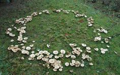 Fairy rings have a rich folkloric background. In Europe, they've been called elf rings, witches rings and sorcerer's rings. Their tendency to occur in woodland areas have linked them with supernatural stories of fairies and other elusive creatures.